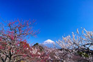 富士山と梅の写真素材 [FYI01212472]