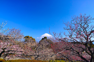 富士山と梅の写真素材 [FYI01212473]