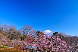 富士山と梅の写真素材 [FYI01212474]
