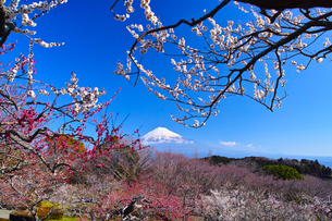 富士山と梅の写真素材 [FYI01212475]