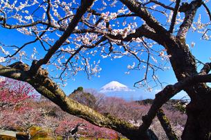 富士山と梅の写真素材 [FYI01212476]