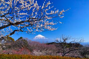 富士山と梅の写真素材 [FYI01212477]