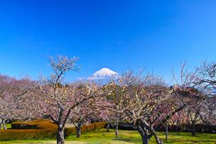 富士山と梅の写真素材 [FYI01212478]