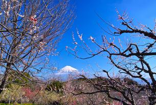 富士山と梅の写真素材 [FYI01212479]