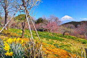 富士山と梅の写真素材 [FYI01212480]