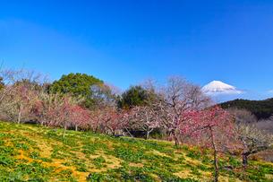 富士山と梅の写真素材 [FYI01212481]