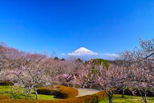 富士山と梅の写真素材 [FYI01212482]