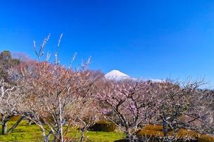 富士山と梅の写真素材 [FYI01212483]