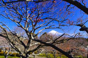 富士山と梅の写真素材 [FYI01212484]