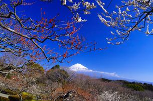 富士山と梅の写真素材 [FYI01212485]