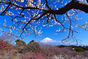 富士山と梅の写真素材 [FYI01212486]