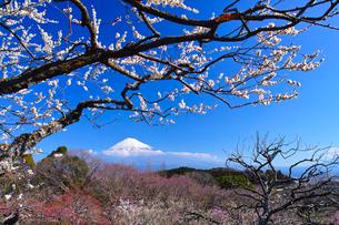 富士山と梅の写真素材 [FYI01212487]