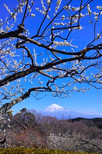 富士山と梅の写真素材 [FYI01212488]