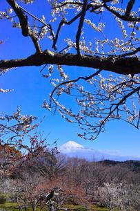 富士山と梅の写真素材 [FYI01212489]