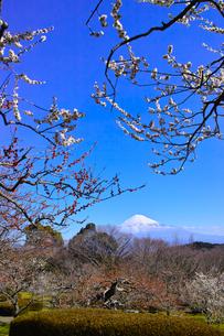 富士山と梅の写真素材 [FYI01212490]