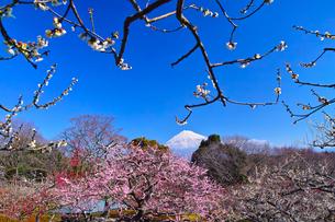 富士山と梅の写真素材 [FYI01212491]
