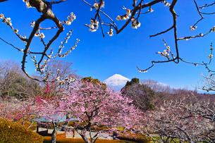 富士山と梅の写真素材 [FYI01212492]