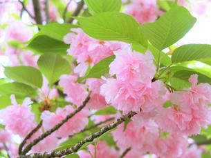 桜満開の写真素材 [FYI01212563]