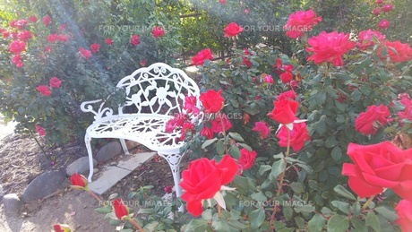 赤いバラに囲まれる白いベンチの写真素材 [FYI01212582]