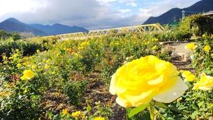 黄色いバラの花畑と黄色の鉄橋の写真素材 [FYI01212584]