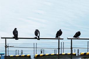 水辺の柵に並んでとまる四羽の鳩の写真素材 [FYI01212709]