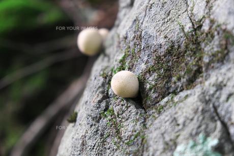 岩から生えたキノコの写真素材 [FYI01212761]