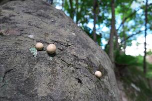 岩から生えたキノコの写真素材 [FYI01212762]