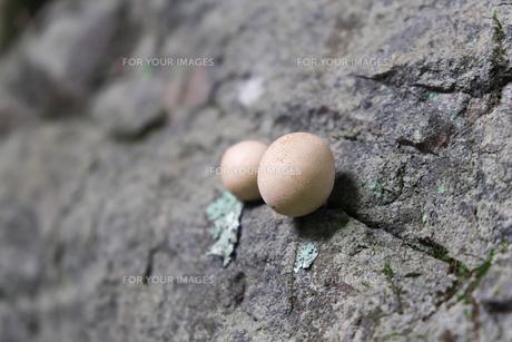岩から生えたキノコの写真素材 [FYI01212763]