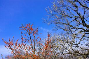 田浦梅林のウメの木の写真素材 [FYI01212766]
