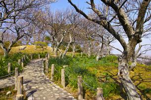 田浦梅林の風景の写真素材 [FYI01212772]