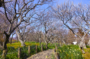 田浦梅林の風景の写真素材 [FYI01212773]
