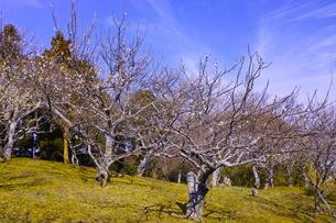 田浦梅林の風景の写真素材 [FYI01212774]
