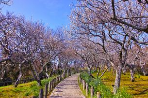 田浦梅林の風景の写真素材 [FYI01212775]