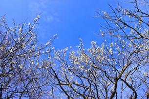 田浦梅林のウメの木の写真素材 [FYI01212776]