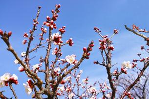 田浦梅林のウメの木の写真素材 [FYI01212777]