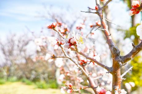 田浦梅林のウメの木の写真素材 [FYI01212778]