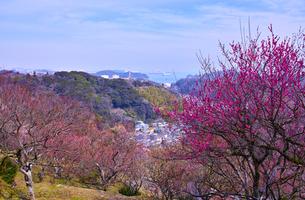 田浦梅林から見た東京湾の写真素材 [FYI01212780]