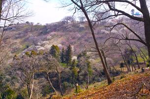 田浦梅林の風景の写真素材 [FYI01212781]