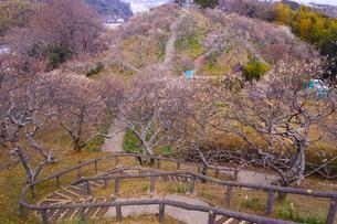 田浦梅林の風景の写真素材 [FYI01212782]
