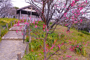 田浦梅林の風景の写真素材 [FYI01212783]