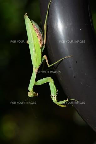 ハラビロカマキリ(腹広蟷螂)の写真素材 [FYI01212875] | ストック ...