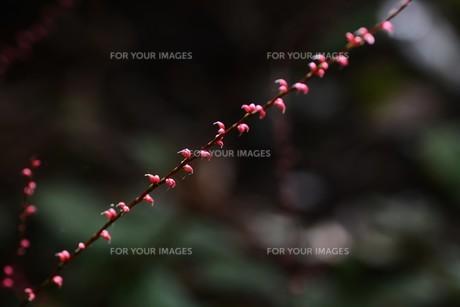 ミズヒキ(水引草)の写真素材 [FYI01212891]