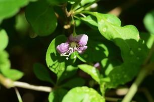 クコの花と実の写真素材 [FYI01212893]