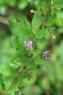 クコの花と実の写真素材 [FYI01212895]