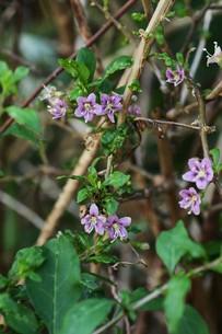 クコの花と実の写真素材 [FYI01212901]