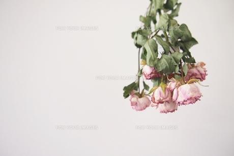dryflower rose 1の写真素材 [FYI01212959]