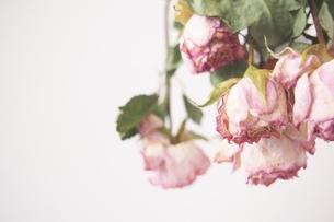 dryflower rose 2の写真素材 [FYI01212960]