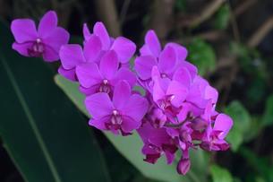 蘭の花の写真素材 [FYI01213021]