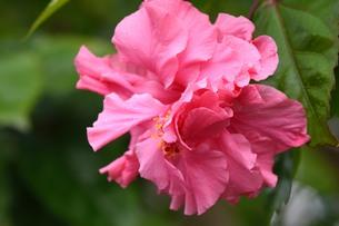ハイビスカスの花の写真素材 [FYI01213027]