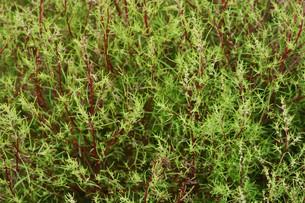 ホウキギ(箒木)・植物の背景素材の写真素材 [FYI01213091]